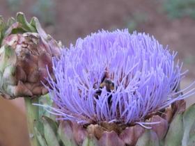 hortus-urbis-carciofo-fiore-foto-zappataromana