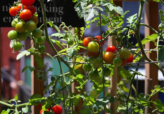 Grognards for Piante pomodori in vaso