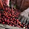 raccolta-CAFFè-GIADA1